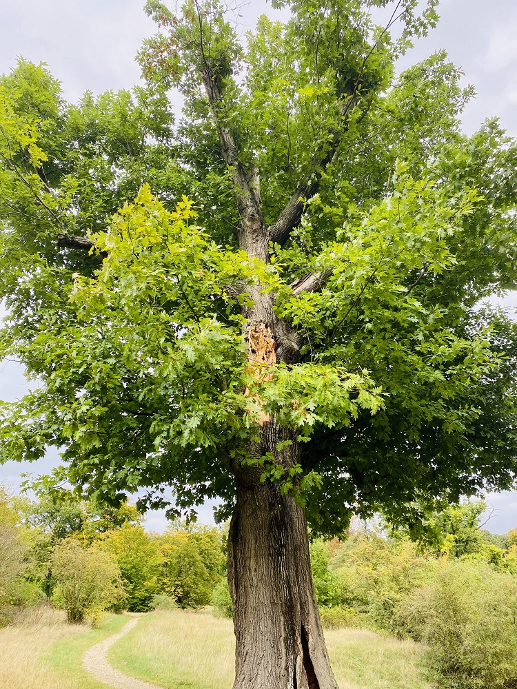 Baumgutachten in Potsdam - Foto von KeilerGrün